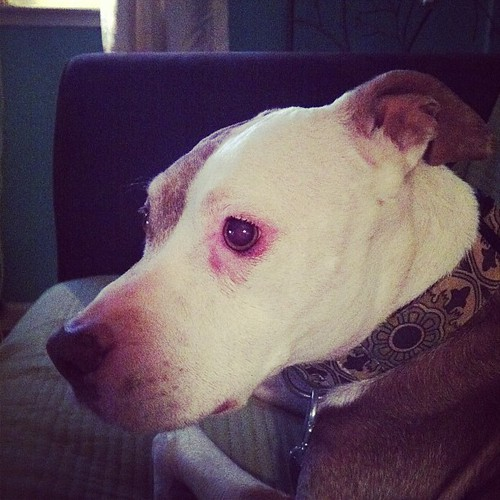 I take a lot of pictures of Mina because she is perfect. #pitbull #dog #vegandog