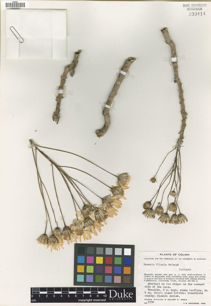 Asteraceae_Senecio filaris