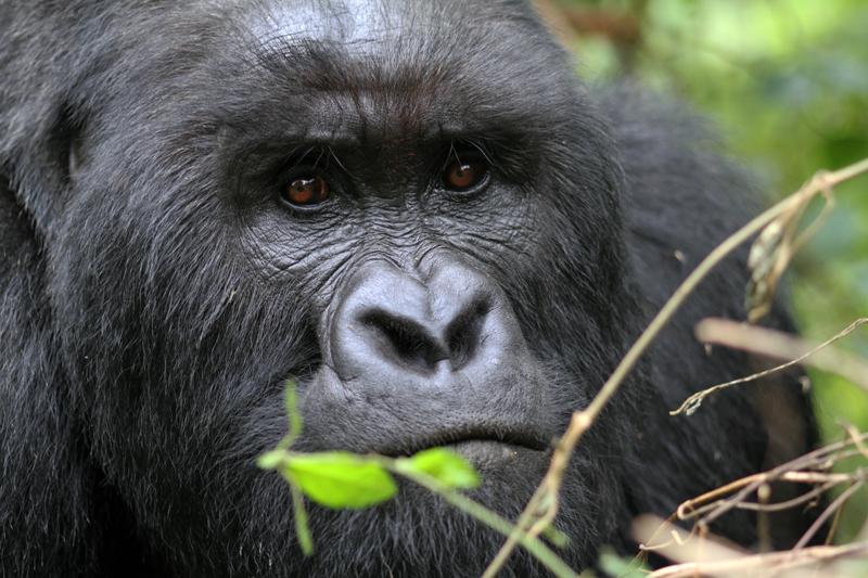 Virunga Silverback