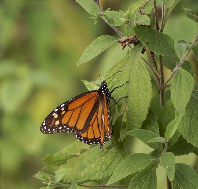 Monarchs 326