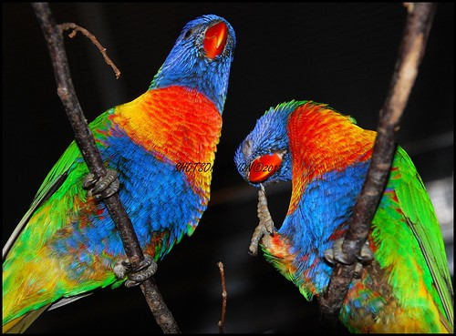 The Lories and lorikeets are small, brightly colored parrots, a subfamily of the family real parrots. They are also called interpreted as a family or a tribe. Lorises are found in Australasia and Oceania / De lori's zijn kleine, felgekleurde papegaaien.