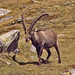 Small photo of Caprinae - Capra ibex - Alpine Ibex