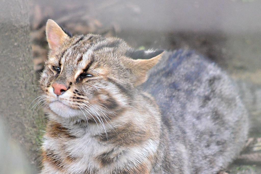 ツシマヤマネコ (Tsushima Leopard Cat)