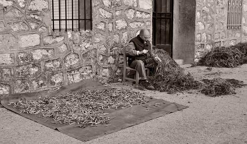 Agricultor limpiando judías pardillas (típicas de Escamilla)