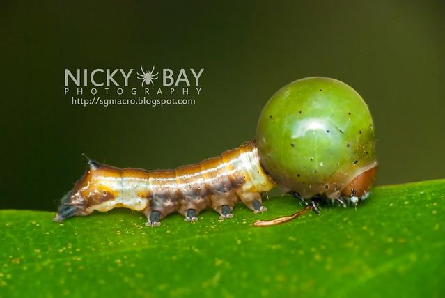 Nolid moth caterpillar (Nolidae) - DSC_1158