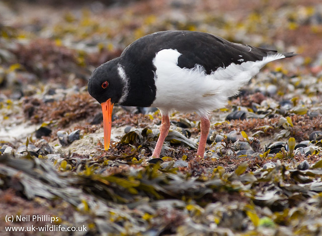 Oystercatcher feeding 4