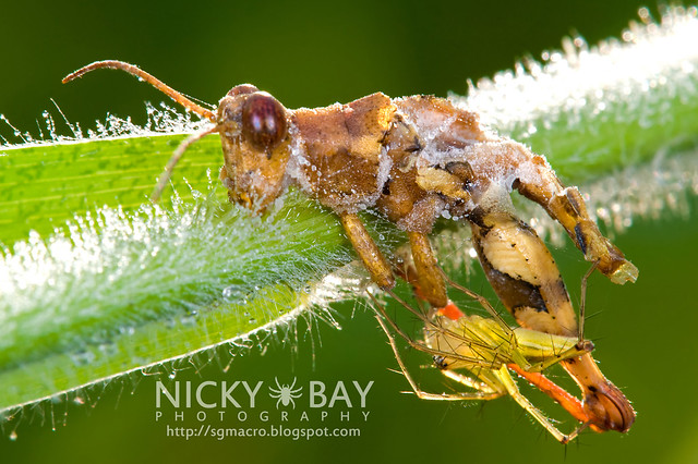 Lynx Spider (Oxyopidae) - DSC_7493