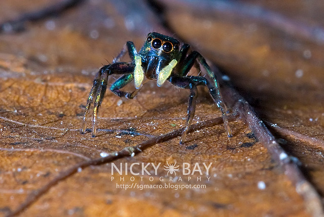 Jumping Spider (Salticidae) - DSC_9873