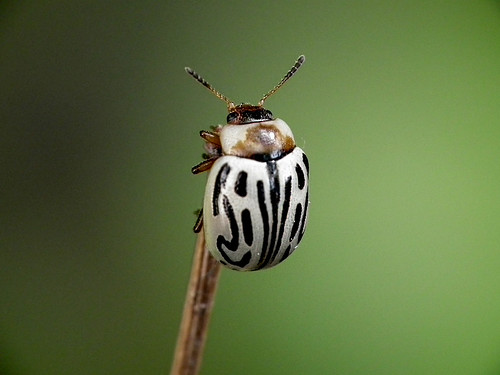 Ladybug by M.Shafiq Chandaiser