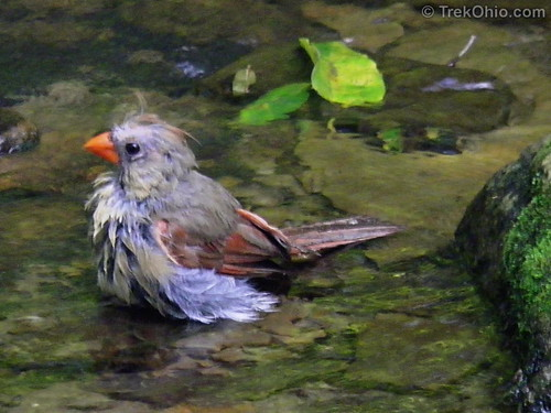 Female Cardinal in disarray from her bath