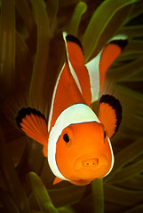 Anemonefish w.Tongue Parasite