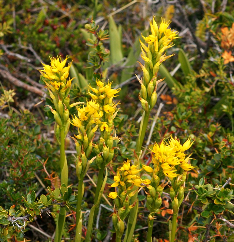 Varita amarilla, Little yellow paintbrush, Gavilia lutea