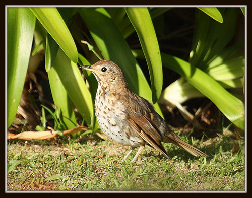 Young Thrush After The Early Worm...