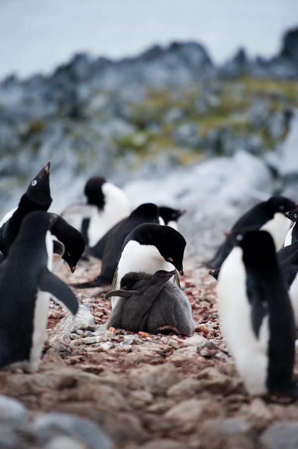 RYALE_Antarctica_Penguins-61
