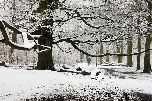 Snowy Beech 22311