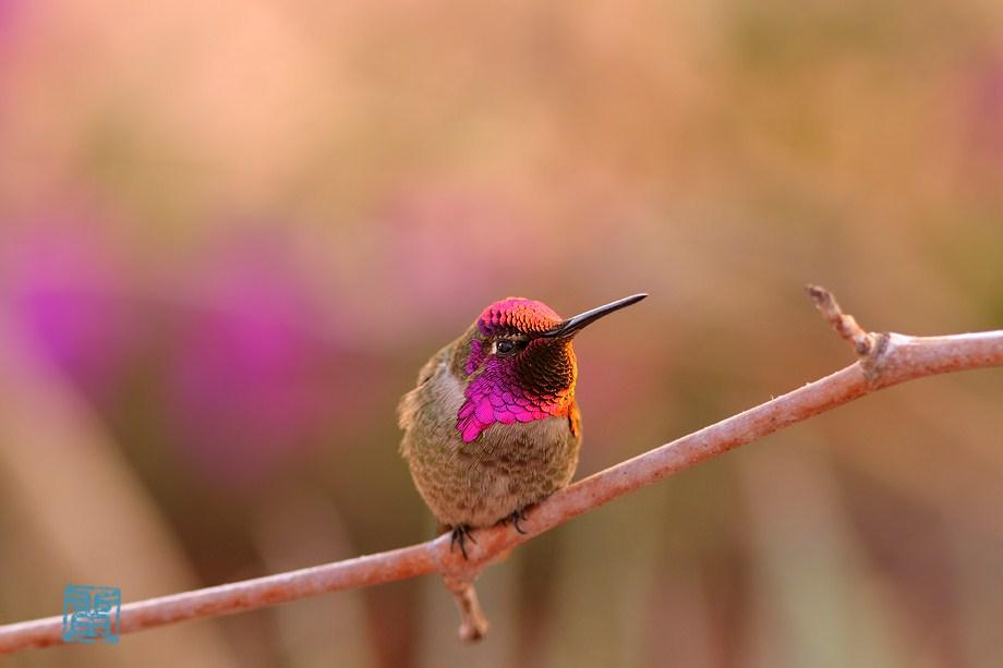 Anna's Hummingbird 011513