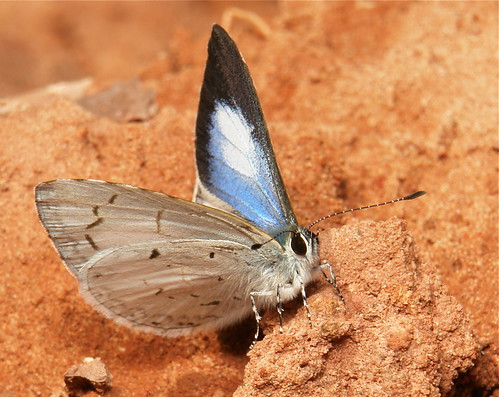 Pale Hedge Blue (Udara dilecta, Lycaenidae)