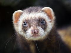 [フリー画像素材] 動物 (哺乳類), 哺乳類 (その他), フェレット ID:201301221000