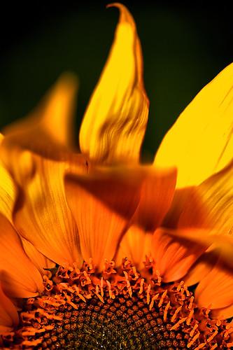 sunset flower macro japan sunflower okinawa a900 α900 mygearandme mygearandmepremium macro lens macro apolanthar 125mm
