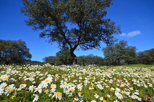 Quién dijo que Andalucía no es verde. Maravilloso prado primaveral de margaritas