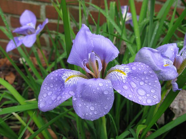 Iris unguicularis - Jardin botanique Henri-Gaussen