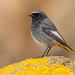 Black Redstart by Lesley Danford