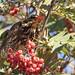 Redwing - skógarþröstur - feasting on berries today