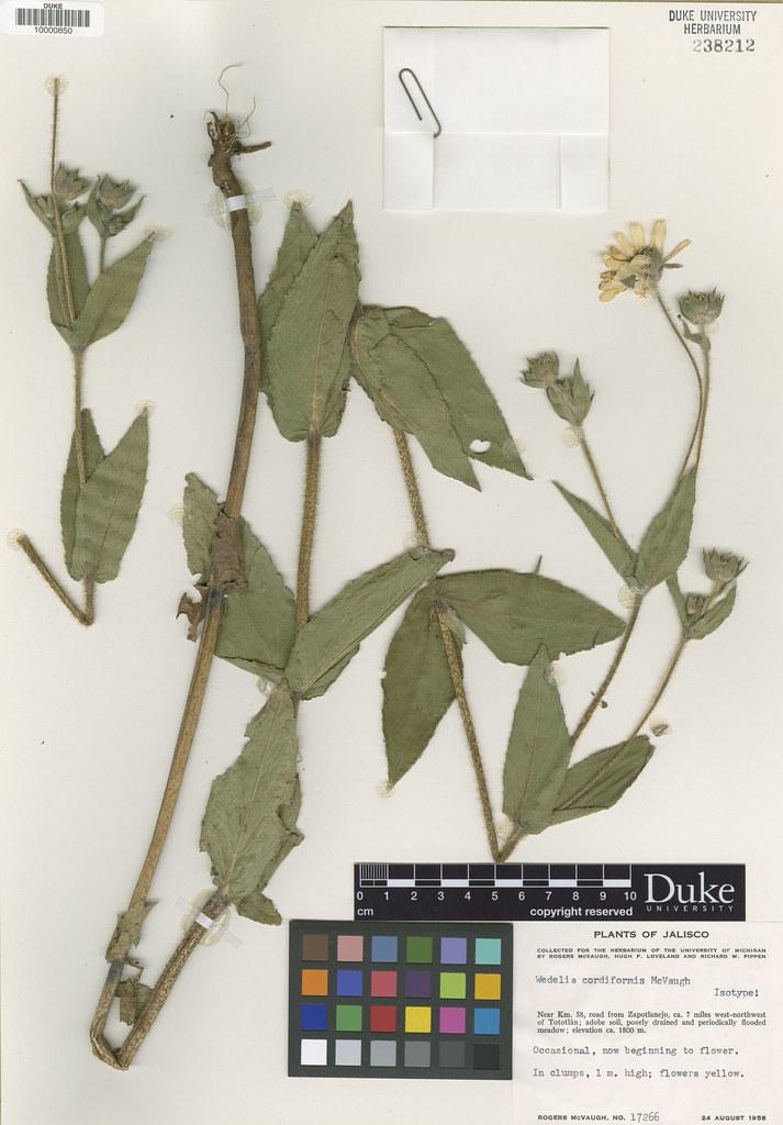 Asteraceae_Wedelia cordiformis