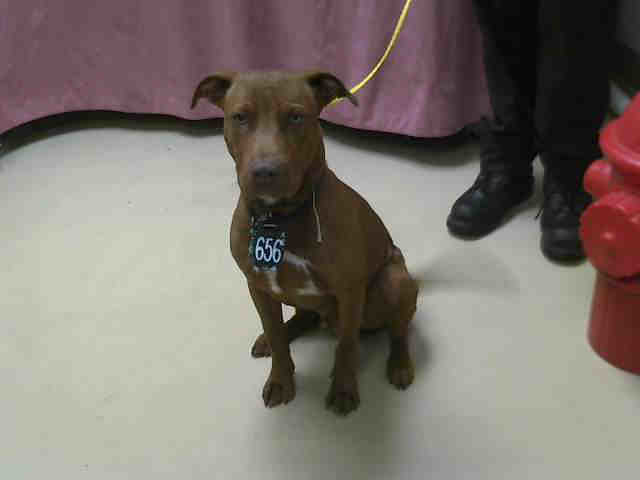 dark red brown chocolate pit bull terrier nice looking dark brown ...