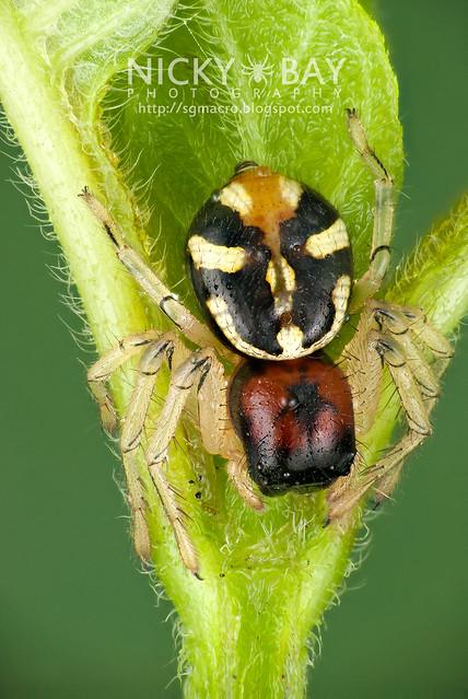 Crab Spider (Camaricus maugi) - DSC_2916