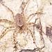 Running crab spider (Selenopidae) on bark by pbertner