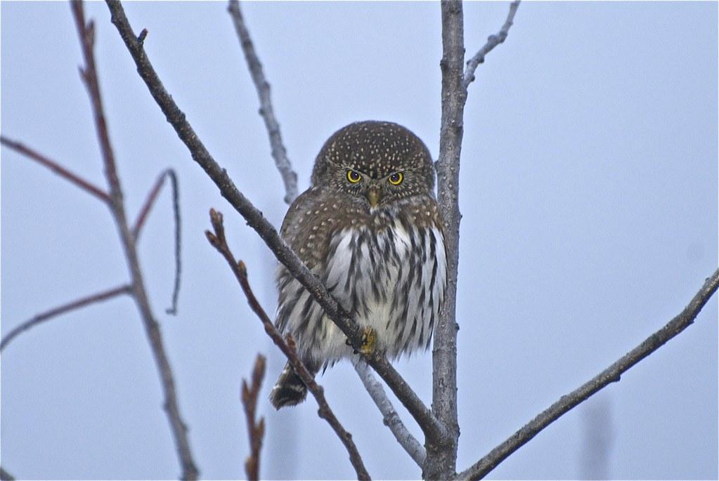 Northern Pygmy-Owl Glaucidium pinicola