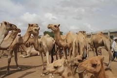 Camel Market (4)
