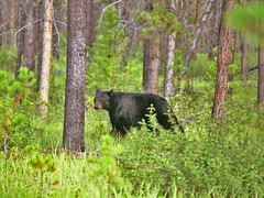 A bear in the forests of Northern BC