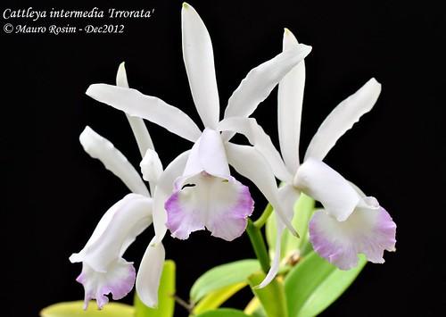 Cattleya intermedia 'Irrorata' by Mauro Rosim
