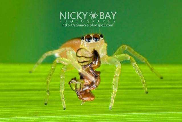 Jumping Spider (Salticidae) - DSC_9620