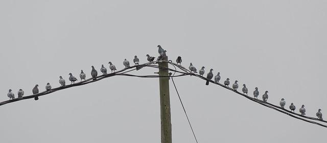 Bird(s) on a Wire
