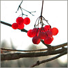 Small lanterns - so beautiful red in the gray of  winter day ~