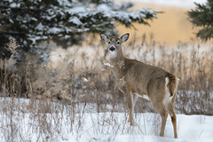 Deer_41646.jpg by Mully410 * Images