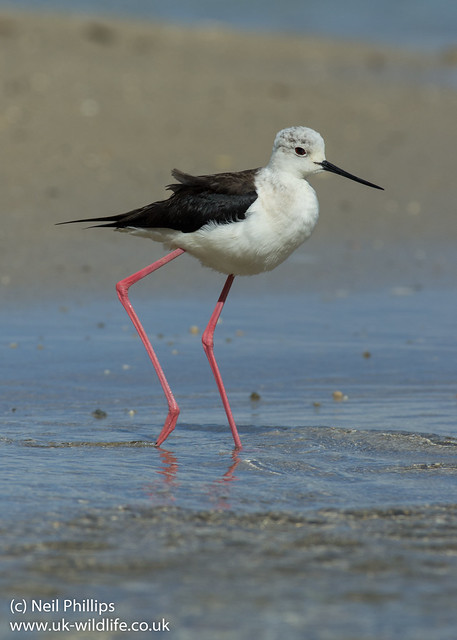 black winged stilt 2
