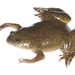 African Clawed Frog - Photo (c) Brian Gratwicke, some rights reserved (CC BY)