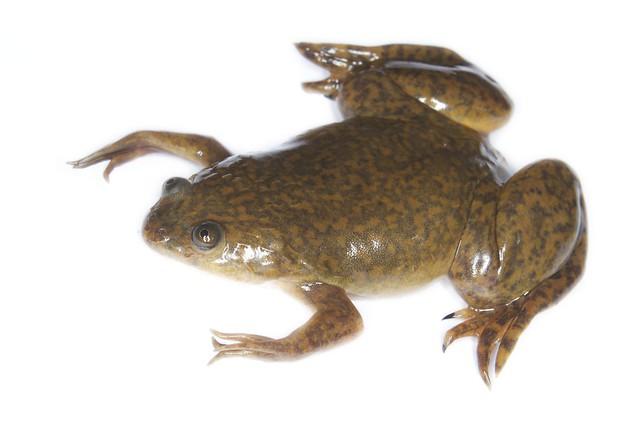 Xenopus laevis