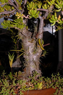 Crassula Bonsai With Orchids 3a