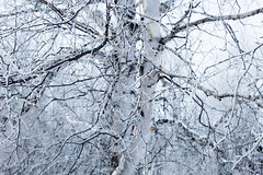 black branches up a snow-white trunk