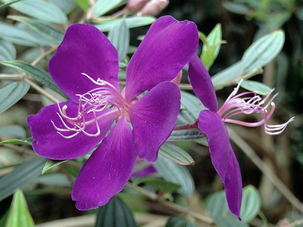 Princess Flower Glory bush or Lasiandra My Own Backyard · iNaturalist