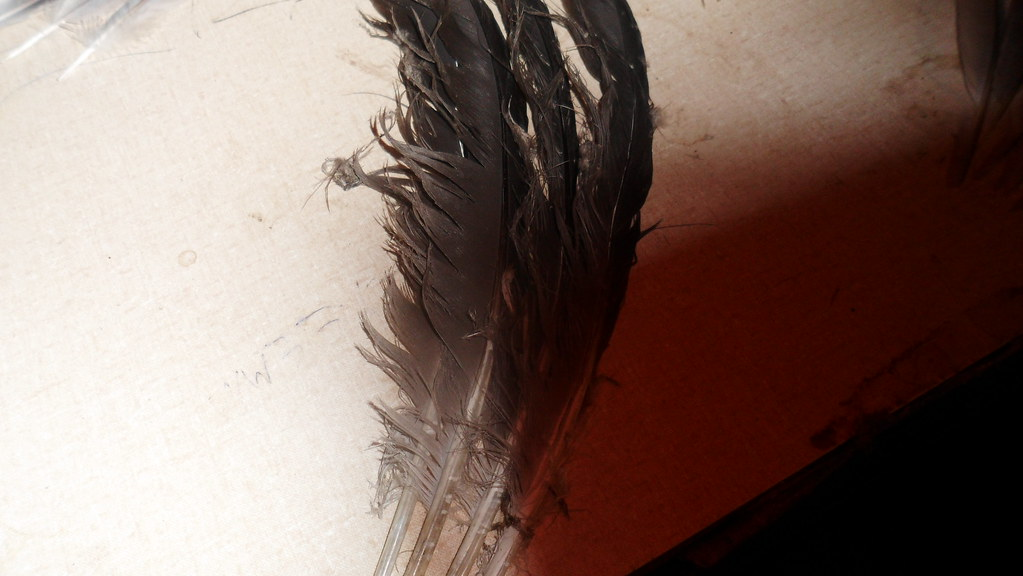 Canada goose feathers
