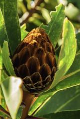 Protea rubripilosa