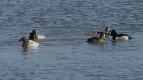 Canvasbacks and Ring-necked Ducks