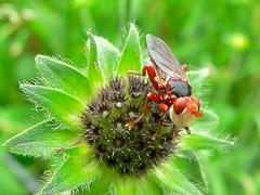 Conopid Fly (Myopa dorsalis)