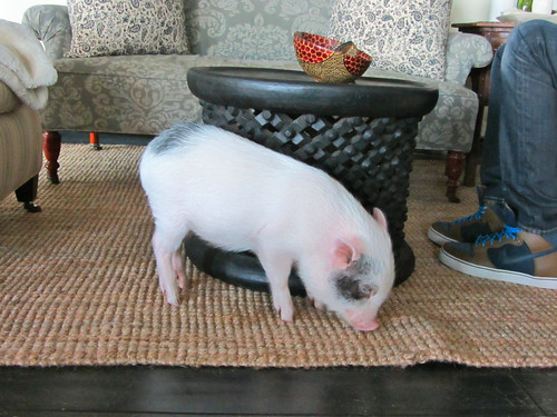 Blue, the tiny pig